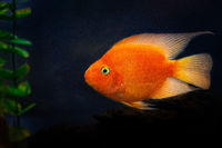 Sidewise, in profile view of a goldfish
