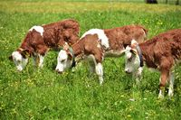 Red calves grazing on pasture in the Black Forest
