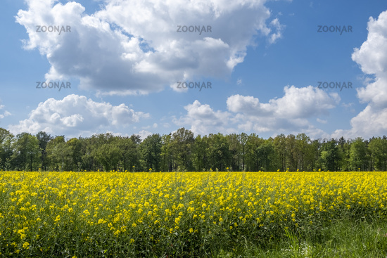 Rapeseed field and cloudy sky