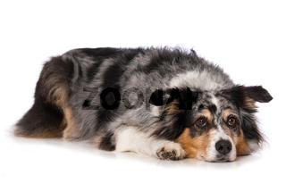 Australian shepherd dog lying on white background