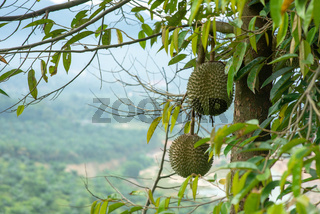 Blackthorn durian tree.