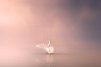 Mute swan Cygnus olor gliding across a mist covered lake at dawn. Amazing morning scene, misty morning, beautiful majestic swan on the lake in morning mist, fairy tale, swan lake, beauty