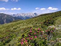 Alpine roses before the Lechtaler Alps