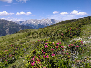 Alpenrosen vor den Lechtaler Alpen