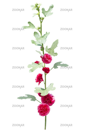 hollyhock flowers isolated on white background