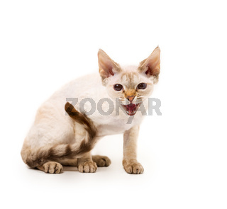 lykoi white werewolf cat