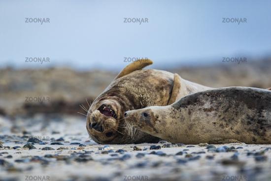 Grey seals (Halichoerus grypus) at Helgoland, Germany