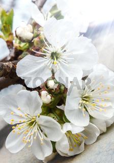 Flowers blooming cherry