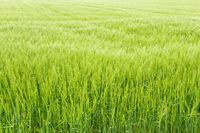 Agricultural field with growing young ears of cereal