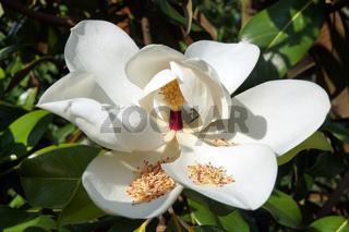 Immergrüne Magnolie (Magnolia grandiflora) - Blüte