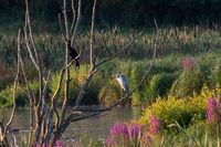 Cormorant and gray heron on tree