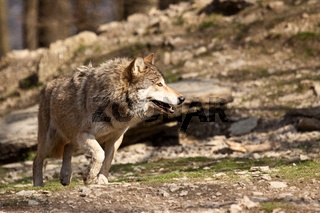 Timberwolf oder Amerikanischer Grauwolf (Canis lupus lycaon)