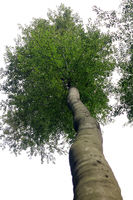Beech in the worm's-eye view