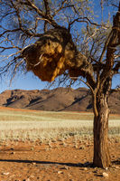 Weaver bird nest in Namibia