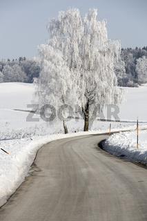 Birke mit Raureif an einer Landstraße in Oberbayern
