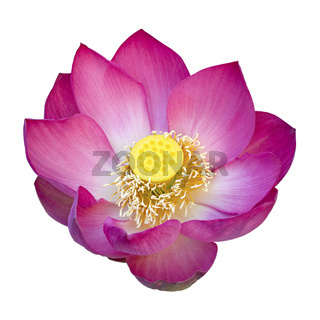 Indian lotus flower isolated on white background