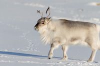 Beautiful Reindeer walking on white snow in Svalbard, Norway