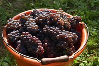 Pinot Gris Grape in bucket Hand picked