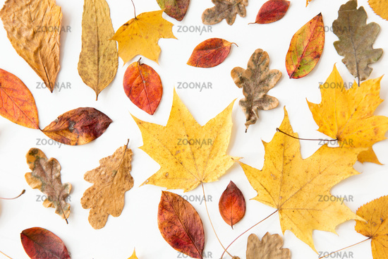 dry fallen autumn leaves on white background