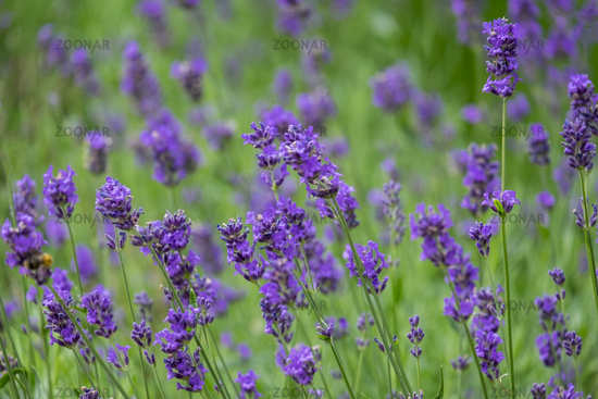 Lavendelbluete (Lavandula)