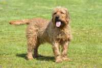 Styrian Course-haired Hound