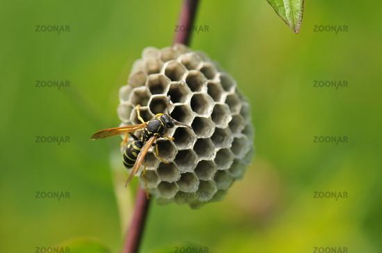 Gallic field wasp
