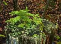 Spruce sprouts grow in a tree stump