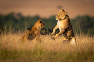 Two lionesses on hind legs play fighting