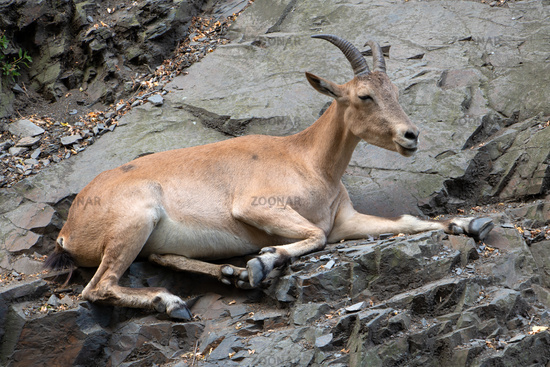 West Caucasian Tur - Capra caucasica resting on the rock