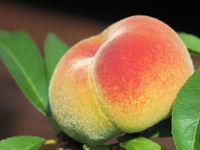 Prunus persica Sandwich