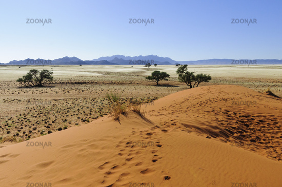 Dunes with acacia trees in the Namib desert, Namibia, Africa.