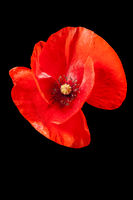Papaver rhoeas_poppy without stem