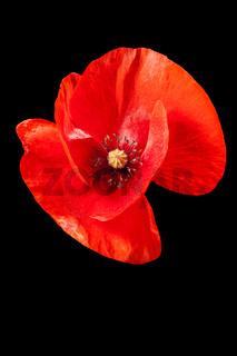 Papaver rhoeas_poppy without stem