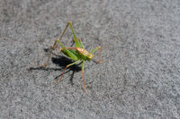 Speckled Bush Cricket Male on carpet during summer.