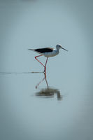 Black-winged stilt walking through lake in sunshine