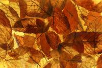 Buchenblätter (Fagus) mit Herbstfärbung