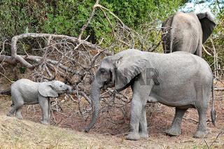 Elefantenherde im South Luangwa Nationalpark, Sambia, (Loxodonta africana)    Elephants at South Luangwa National Park, Zambia, (Loxodonta africana)