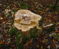 tree stump after tree felling