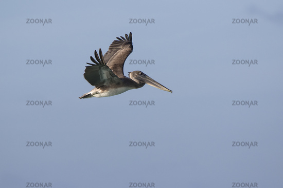 young brown pelican who flies over the ocean on a sunny day