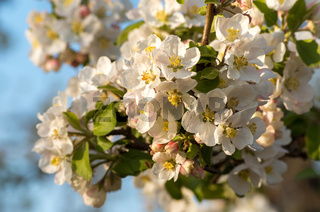 Spring blossoms of blooSpring blossoms of blooming apple tree in sprinming apple tree in springtime.