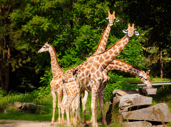 Four giraffes positioned like a fan