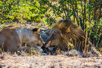 Gentle lion love