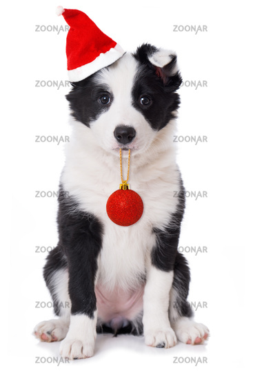 Border Collie Welpe