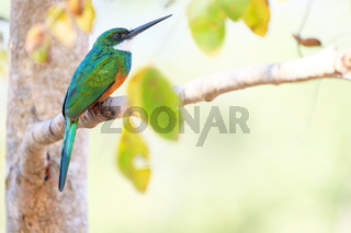 Rufous-tailed Jacamar, Galbula Ruficauda, green and orange bird with long bill, Mato Grosso, Pantanal, Brazil