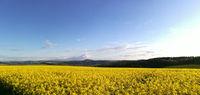 A rape field in the Erzgebirge mountains in Saxony, Germany
