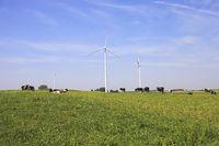 Cows grazing near wind turbines