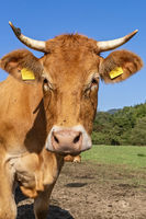 Portrait of a cattle
