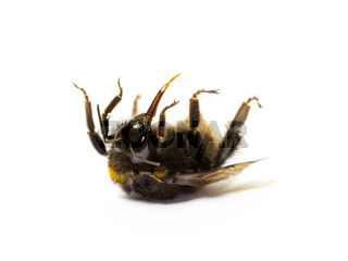 Dead bumblebee lying on her back isolated on white background. Insect death and environmentel protection concept.