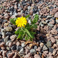 A small yellow flower on gravel