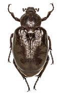 Russian Leather Beetle on white Background  -  Osmoderma eremita(Scopoli, 1763)